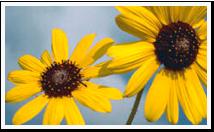 ks_flower